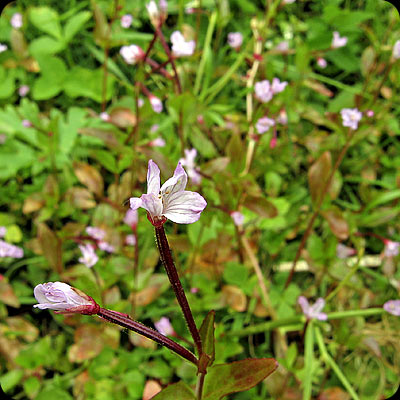 Epilobium lactiflorum. Milkflower willowherb, Mjölkdunört