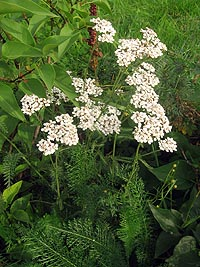 Achillea millefolium