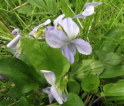 Viola ssp, Pansy, Veilchen, Viol